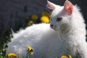 Лаперм - кот с кудрявой шерсткой