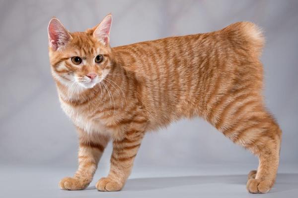 Мэнкс - бесхвостый кот в форме шарика