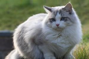 Описание породы кошек Рэгдолл
