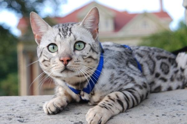 Серебристый окрас бенгальской кошки