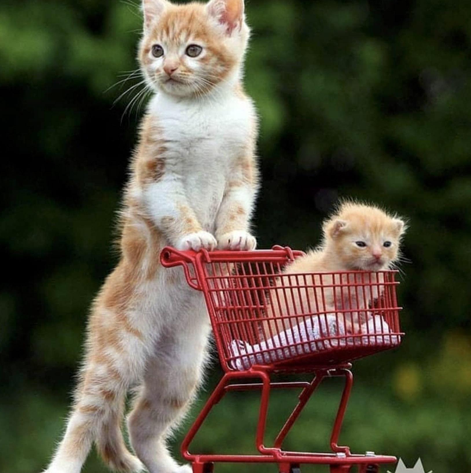 котята пошли за покупками