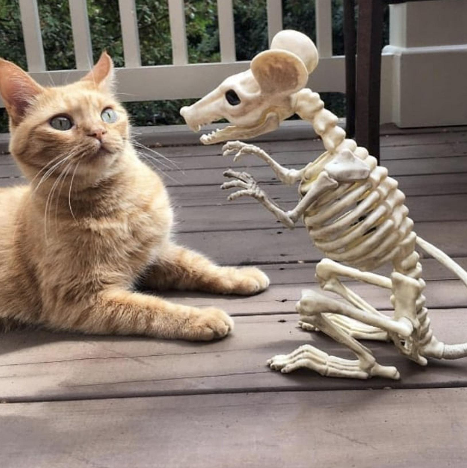 скелет большой крысы пугает кота