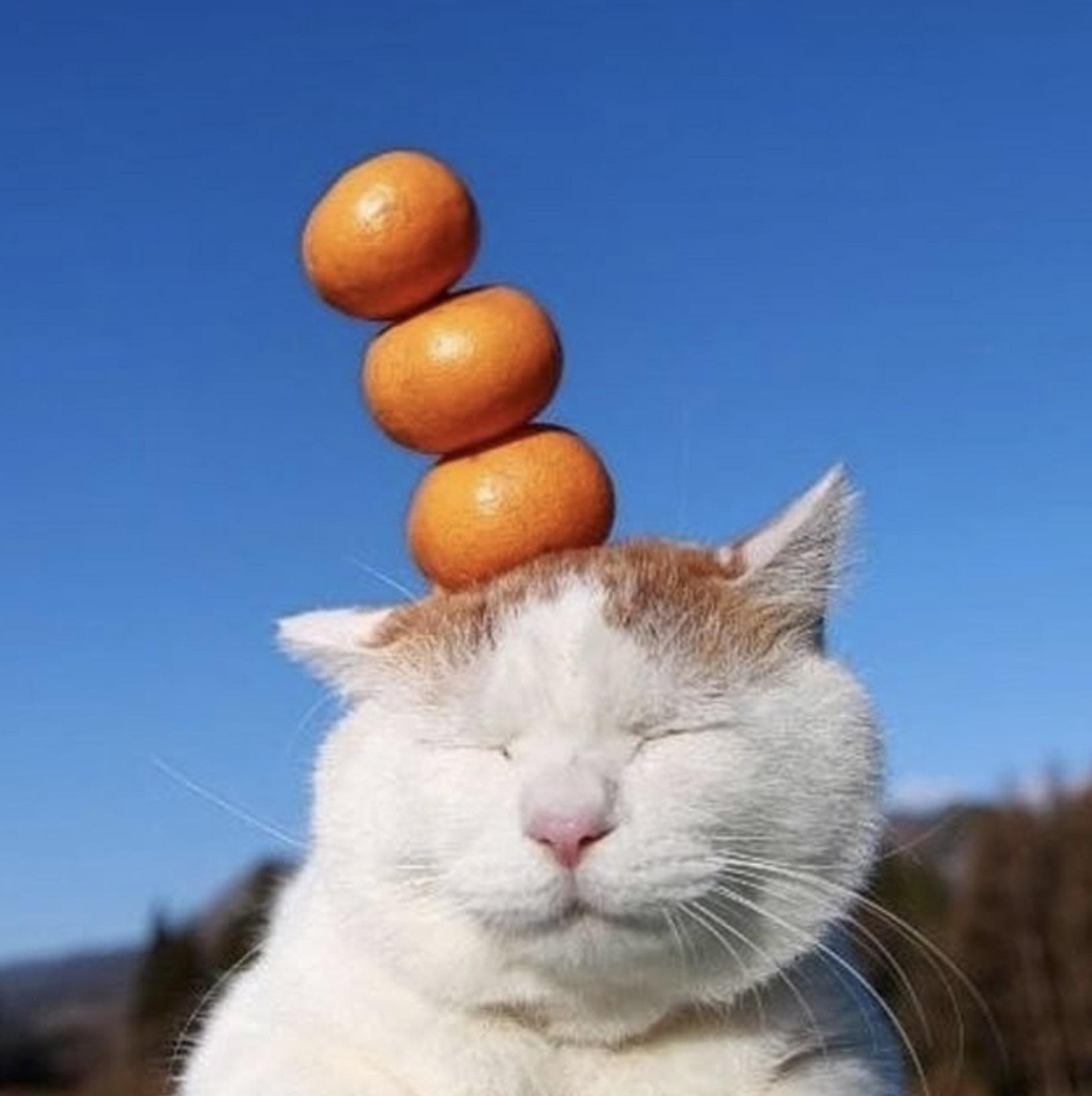 кот держит мандаринки на голове
