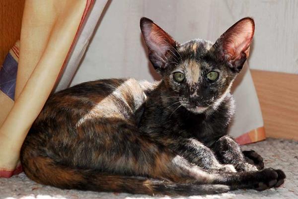 Черепеховая ориентальная кошка