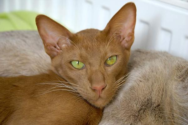 Ориентальная кошка циннамон