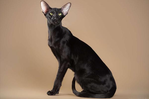 Черный (эбони) ориентальный кот