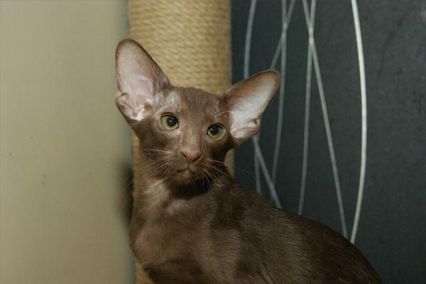 Шоколадный окрас ориентальной кошки