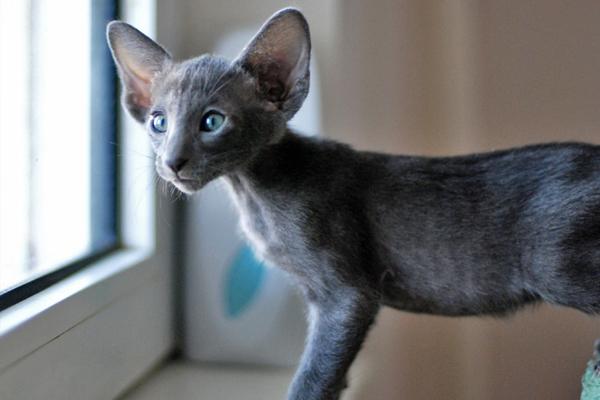 Ориентальная кошка серо-голубого окраса