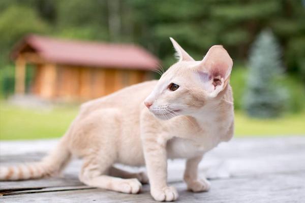 Ориентальная кошка с белым окрасом