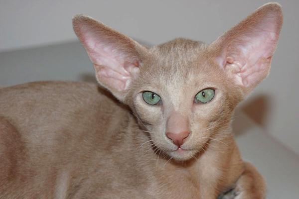 Лиловая ориентальная кошка