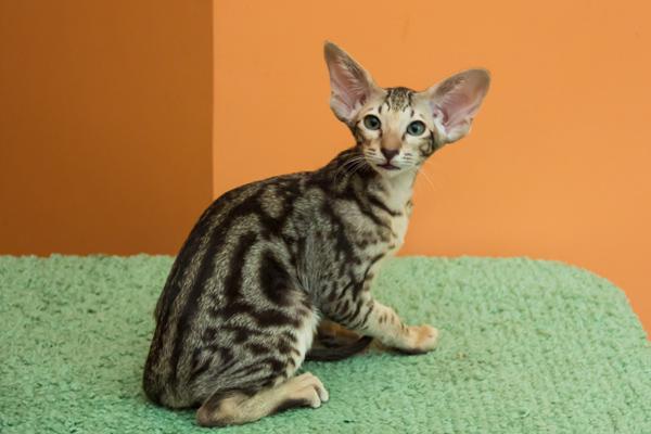 Ориентальная кошка с мраморный окрасом