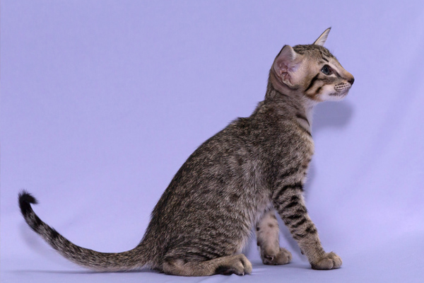 Ориентальная кошка с пятнистым окрасом