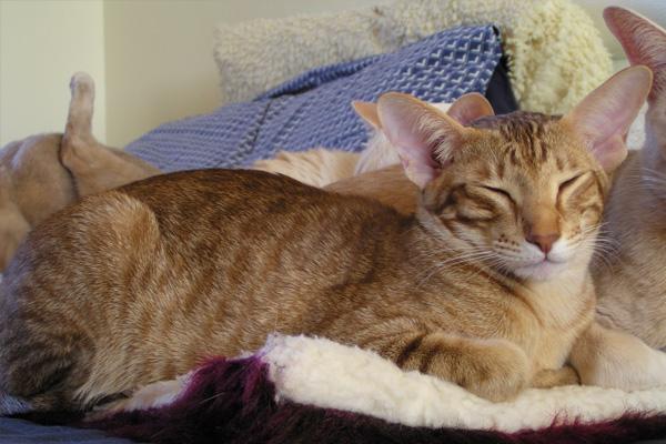 Ориентальная кошка: окрас Тэбби
