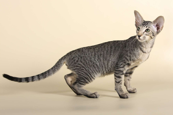 Тигровый узор на риентальной кошке