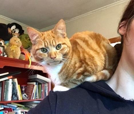 Котёнок-карлик любит сидеть на плече