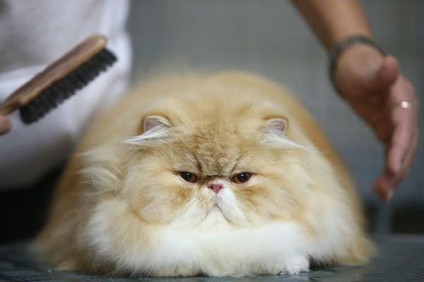 Расчесывание персидской кошки