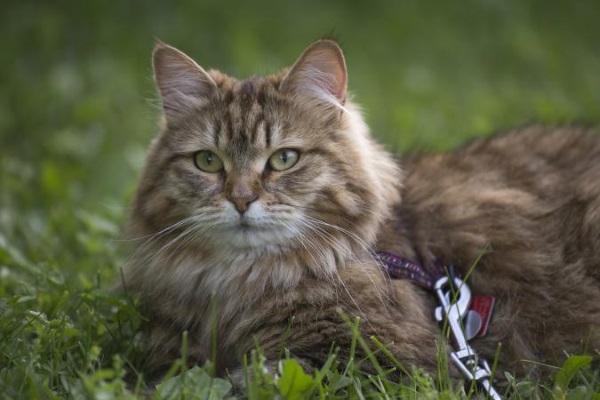 Сибирский кот гуляет на шлейке