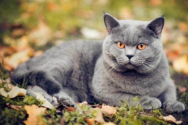 Описание британской кошки