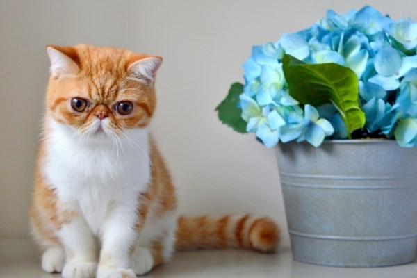 Экзотический кот с цветами