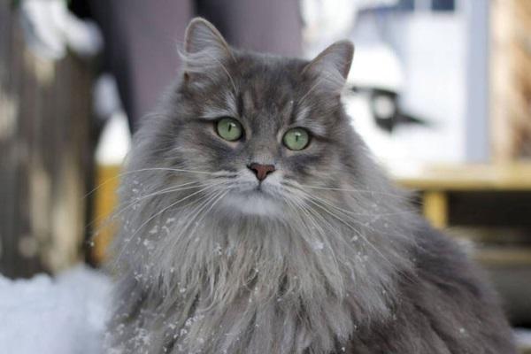 Дымчатый кот