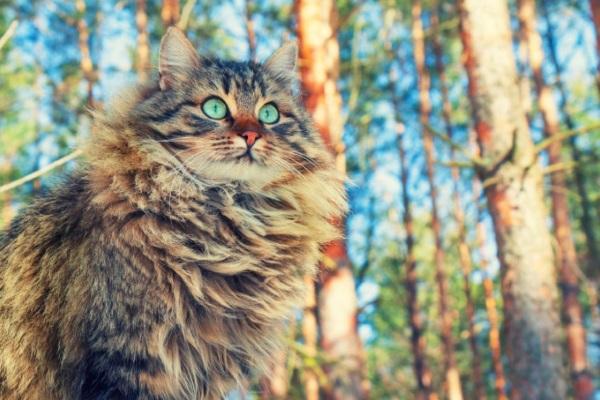 Сибирский кот окраса тэбби