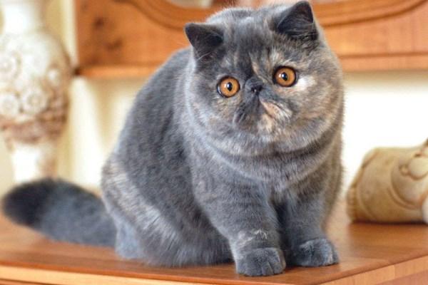 Экзотический кот
