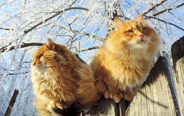 Два кота сидят на заборе