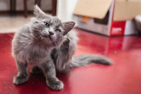 Кошка чешется от клещей