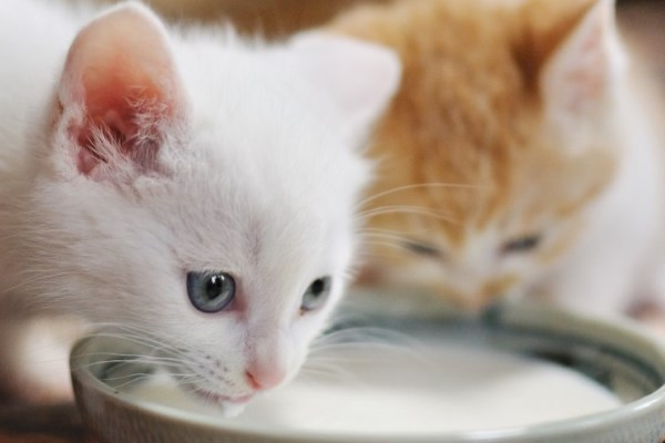 Котята пьют молоко