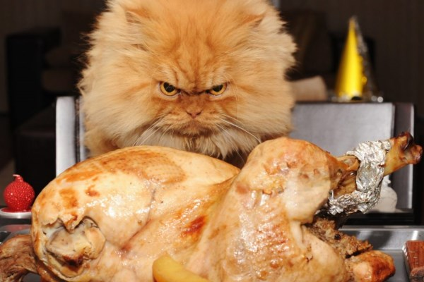 Кот злобно смотрит на курочку