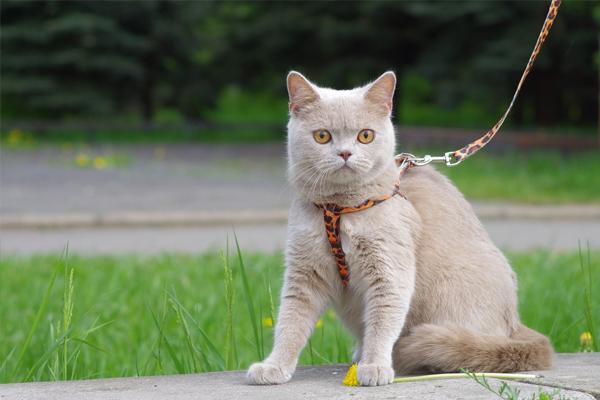 Кот окраса фавн