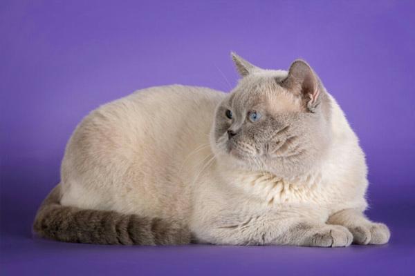 Британская кошка колор-поинт