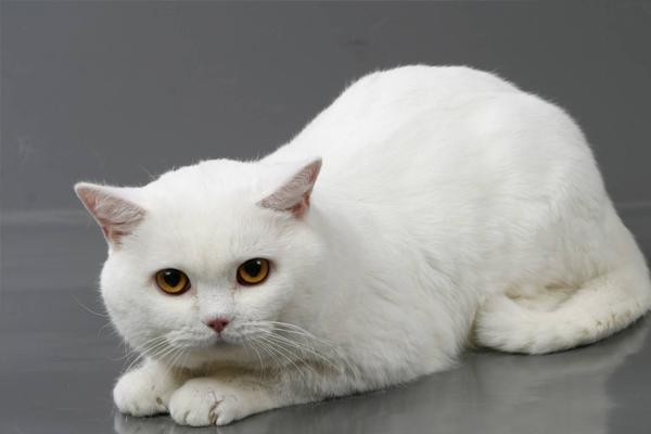 Британская кошка белого цвета