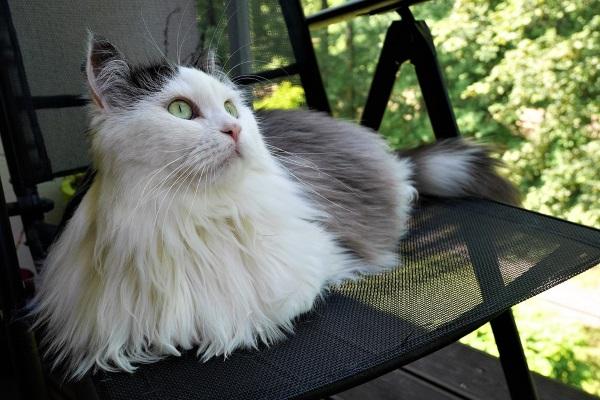 Сибирский кот биколор