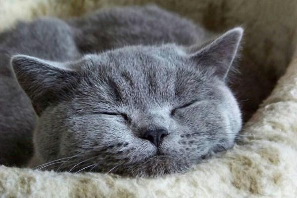 Cпящая русская голубая