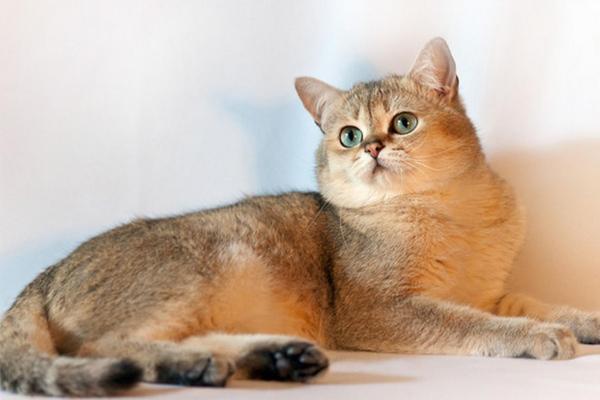 Золотая британская кошка