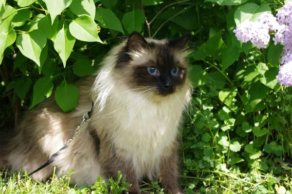 Кот окраса сил-пойнт
