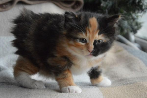 Трехцветный котёнок курильского бобтейла