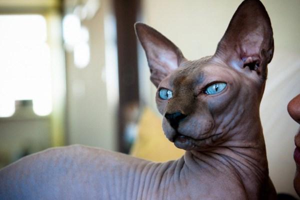 Характер донского кота
