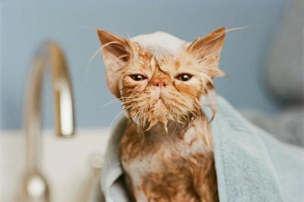 Как часто можно купать кота