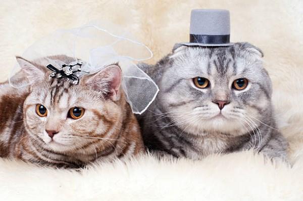 Кот жених и кошка невеста