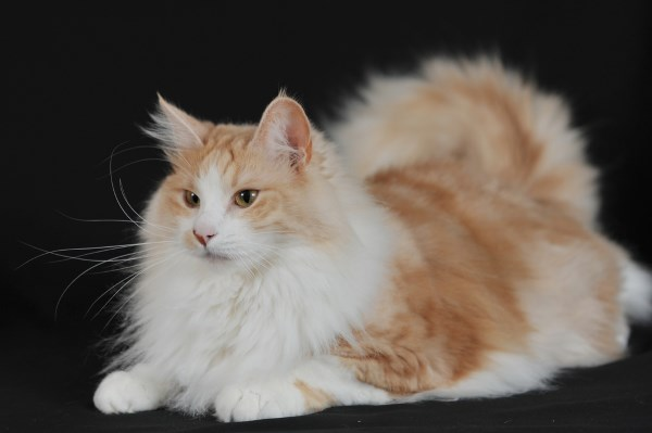 Рыжая ангорская кошка
