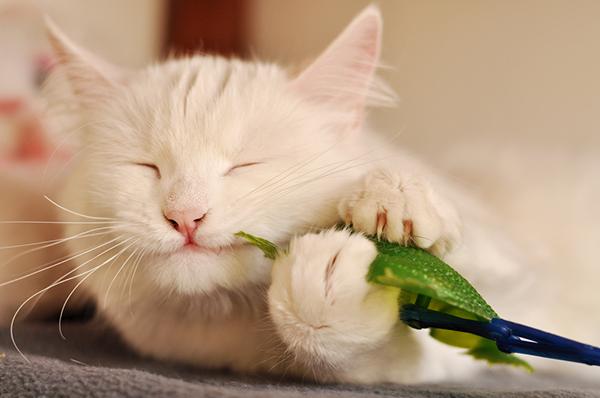 Ангорская кошка играет