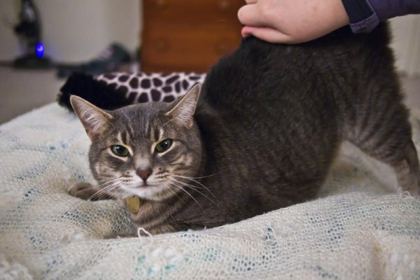 Кошка ластится во время течки