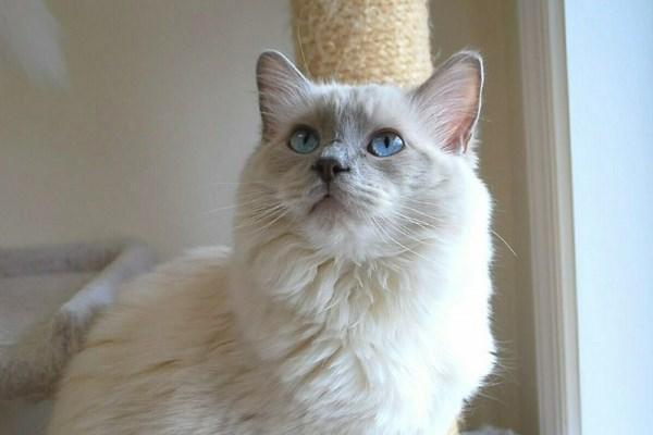 Лиловая кошка
