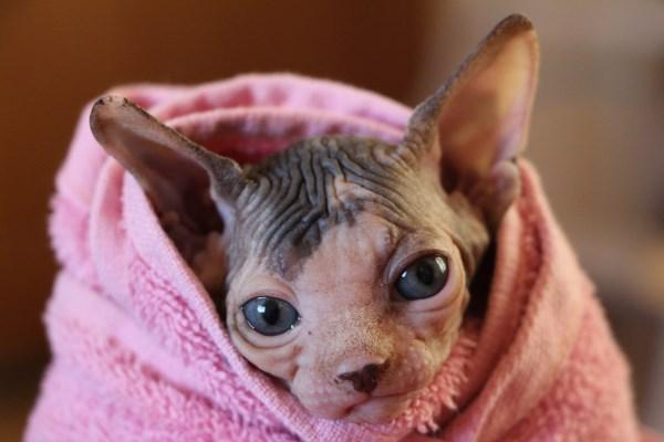 Сфинкс в полотенце