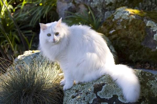 Внешность ангорской кошки