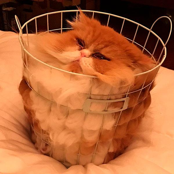 пухлый кот в корзинке