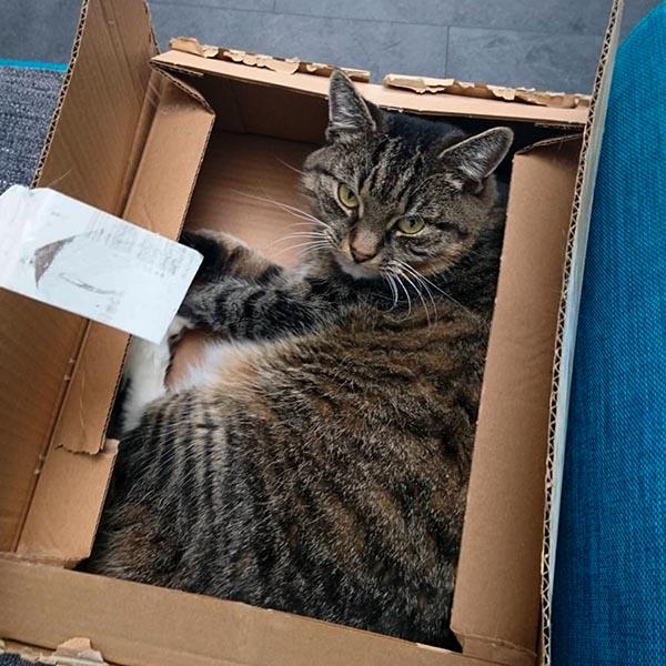 Серый кот в коробке