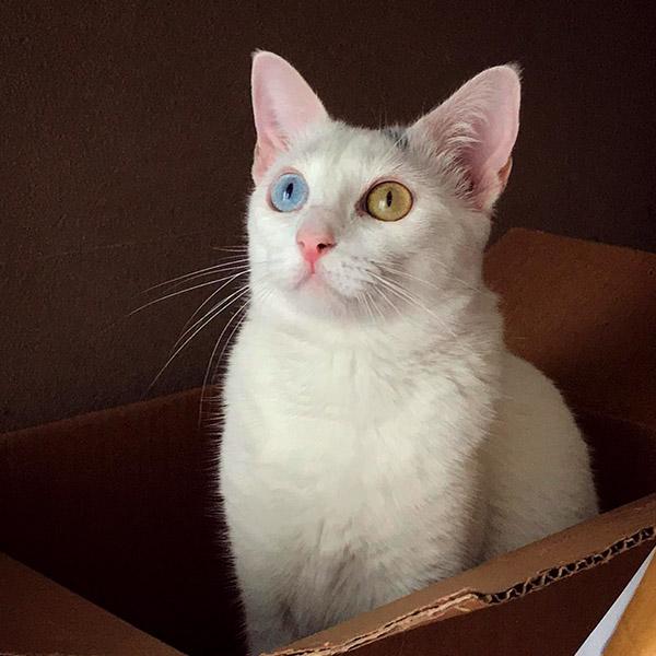 Кошка с гетерохромией в коробке